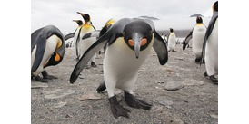 King penguins in South Georgia, one of the many penguin species of Antarctica
