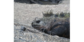 Silver Galapagos review - Marine iguana on Fernandina