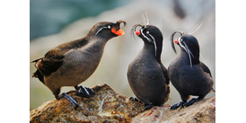 Whiskered auklets in Alaska, one of the world's best birdwatching cruise destinations