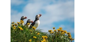 Puffins in Bakkagerdi, one of the highlights of a cruise around Iceland