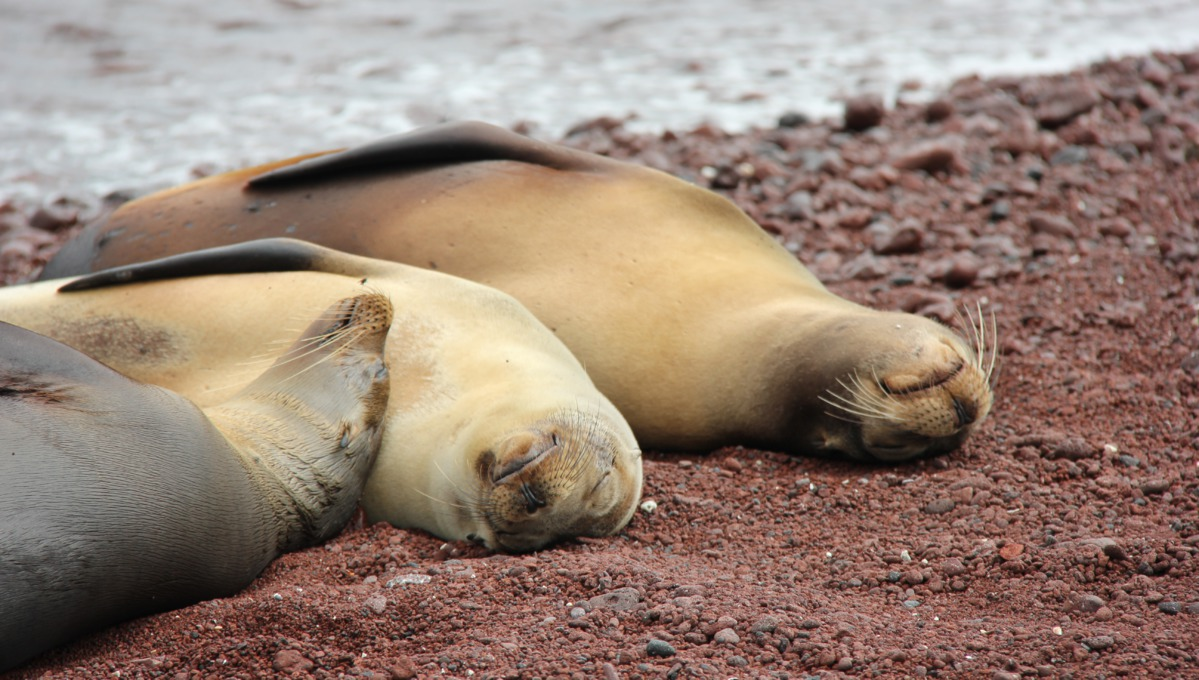 Sea lions on a red coral beach on Rabida Island, Galapagos