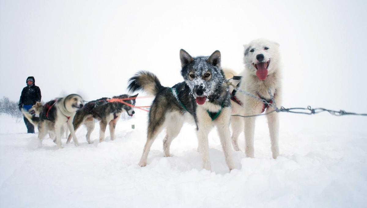 Huskies in Norway on a Hurtigruten cruise