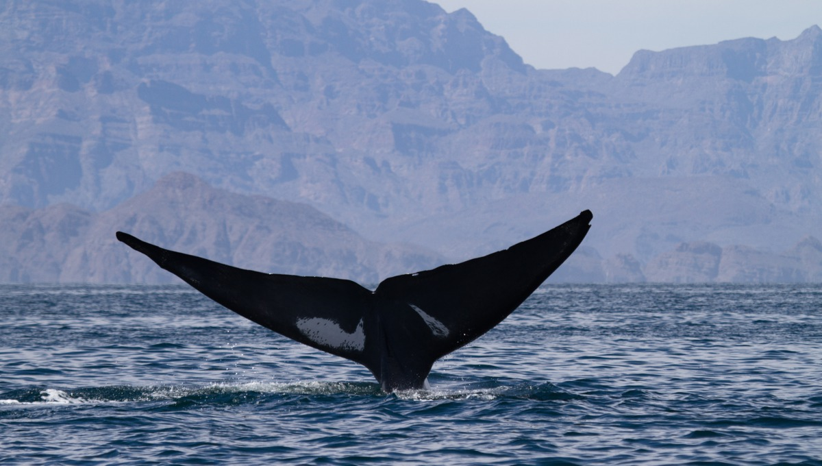 Blue whale in the Sea of Cortez