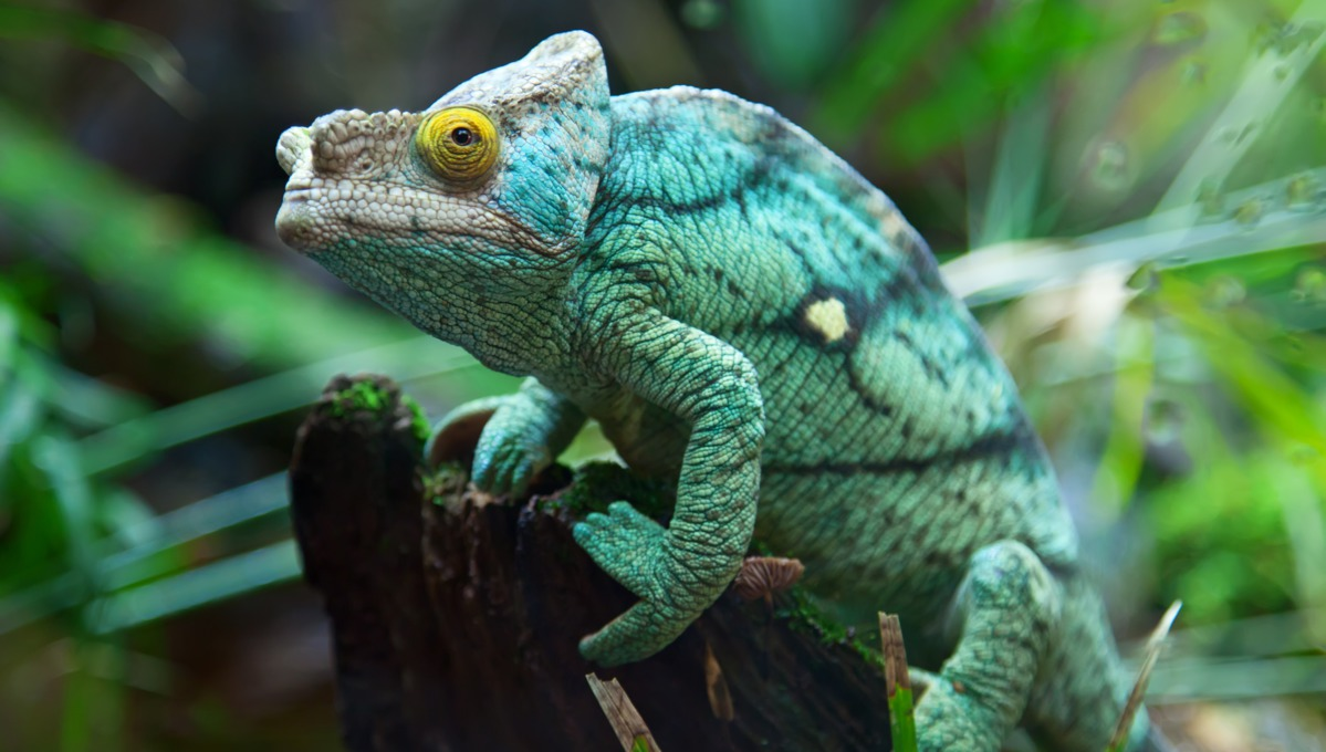 Seven cruises to seven continents - Chameleon in Madagascar