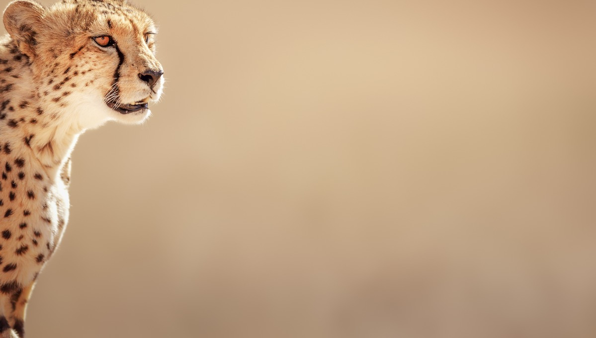 West Africa cruises - Cheetah in the Kalahari Desert, Namibia