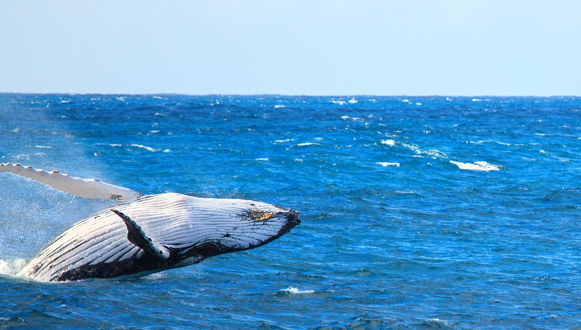 Dolphin and whale watching cruises - Breaching humpback whale