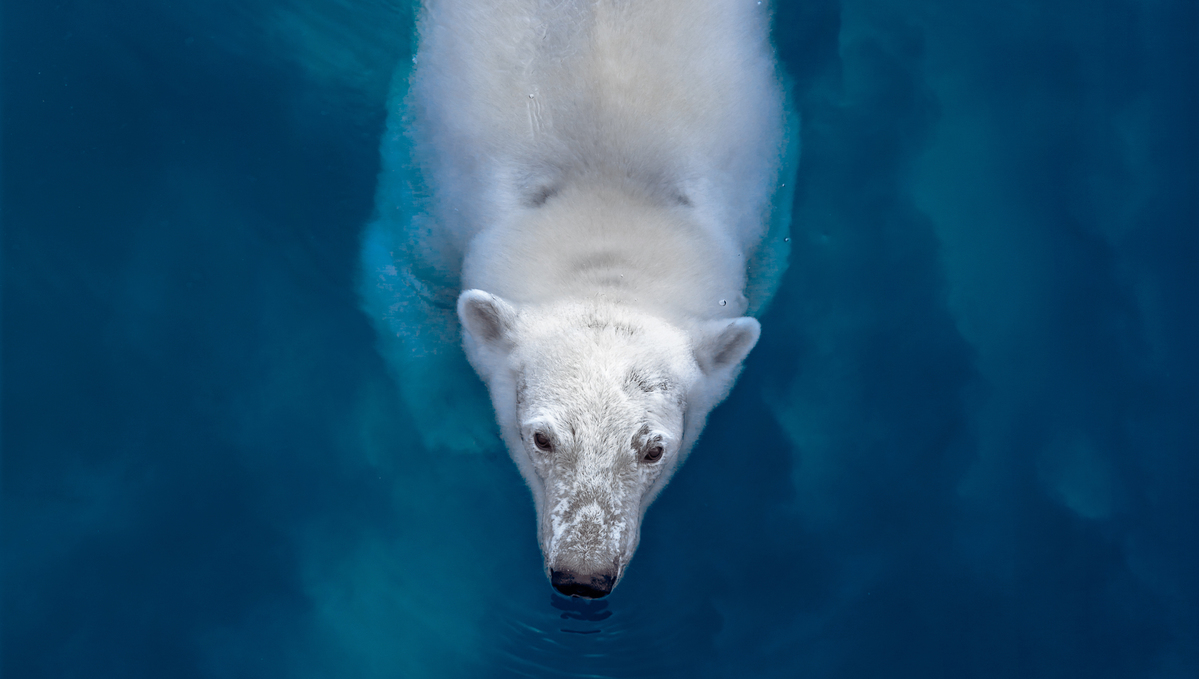 Off The Map magazine - Polar bear swimming