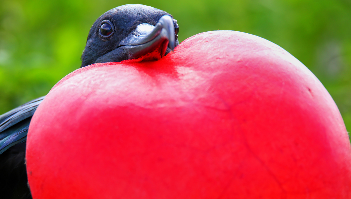 Galapagos cruises - Great frigatebird
