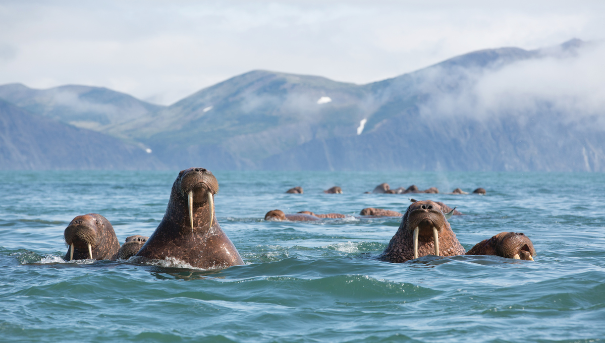 Russian Far East cruises - Walruses in Kamchatka