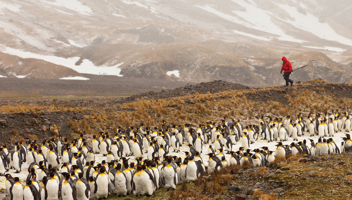 Polar expedition cruises - Penguins in South Georgia