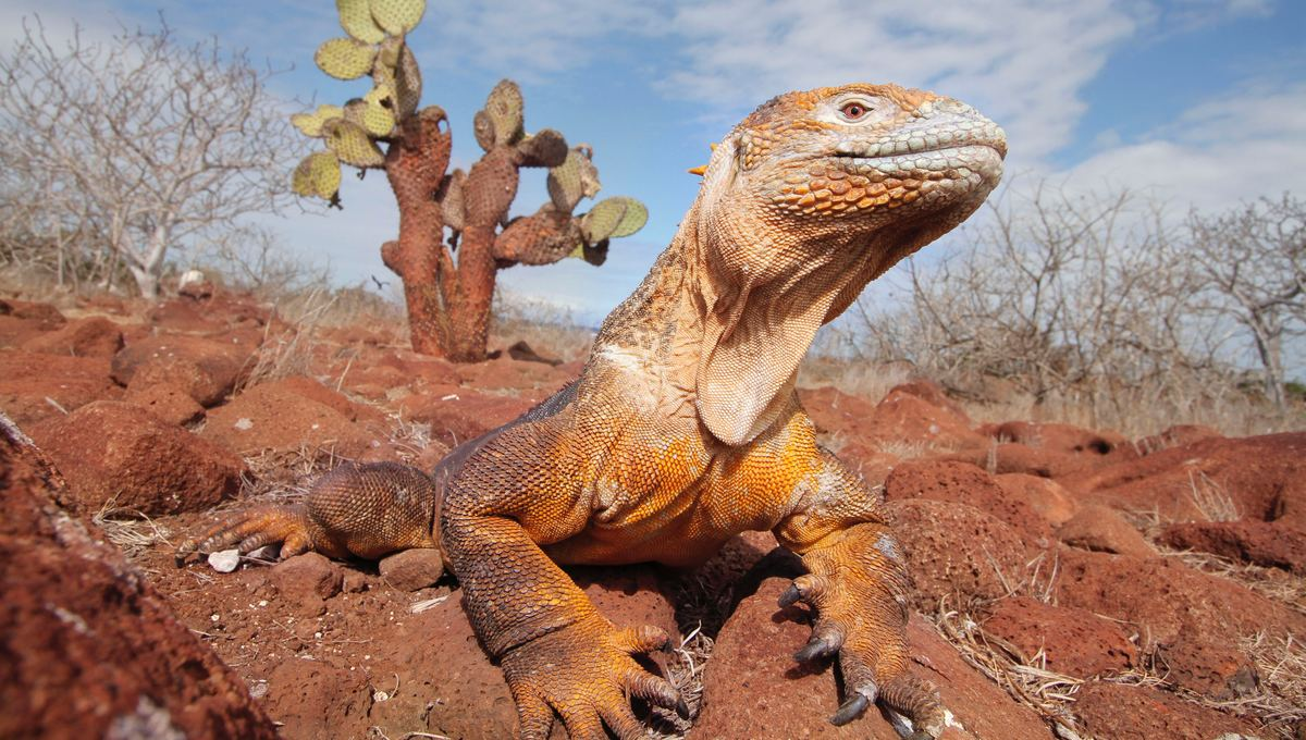Land iguana in the Galapagos - find out when to visit with our wildlife calendar