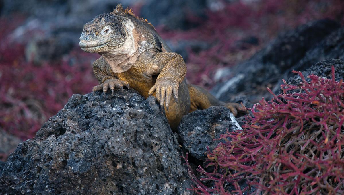 Galapagos expedition cruises - Land iguana