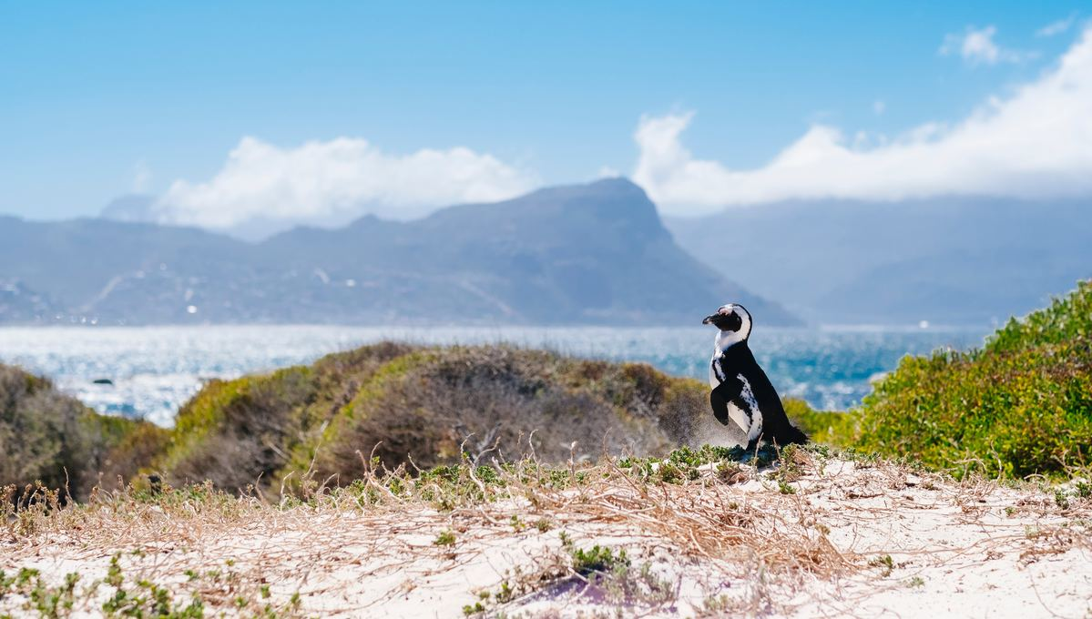 A penguin in Cape Town, one of the highlights of a South Africa cruise