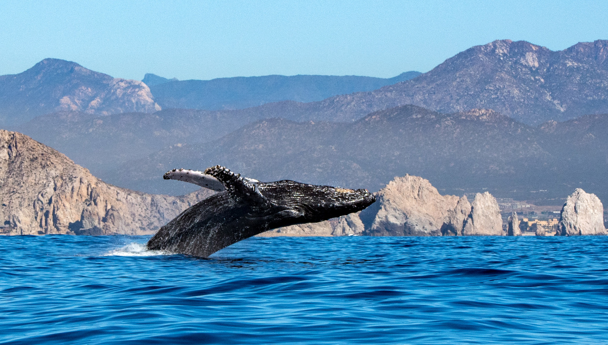 Sea of Cortez expedition cruise - Whale breaching, Mexico