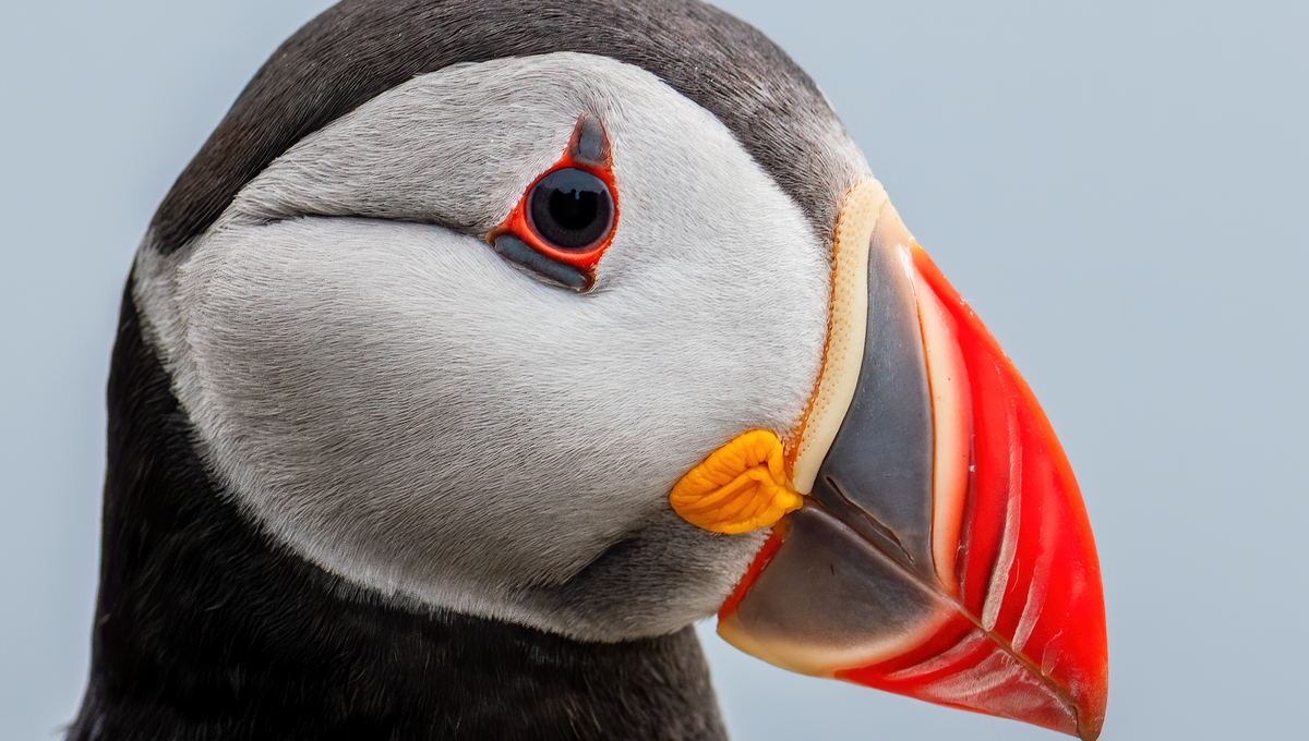 Mundy Cruising photo competition - Atlantic puffin in Norway