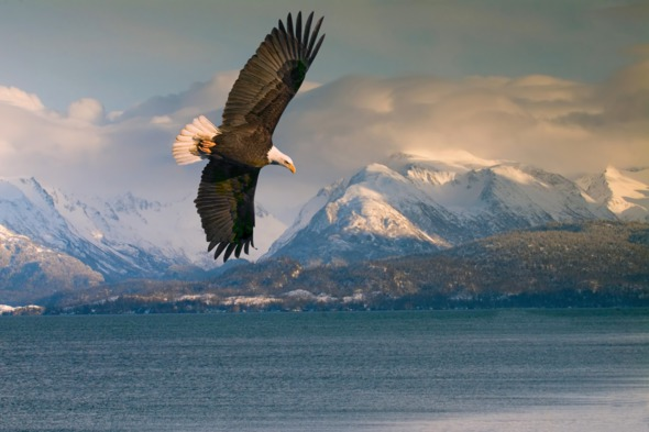 Bald eagle over Homer, Alaska