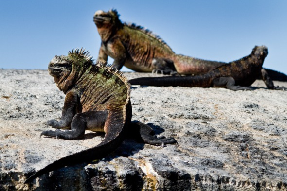 Marine iguanas in the Galapagos
