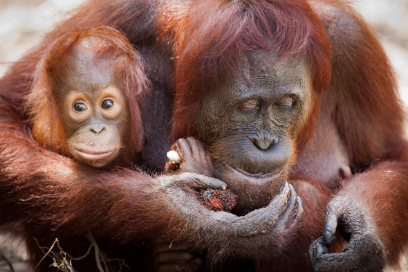 Orangutans in Camp Leakey, Kalimantan