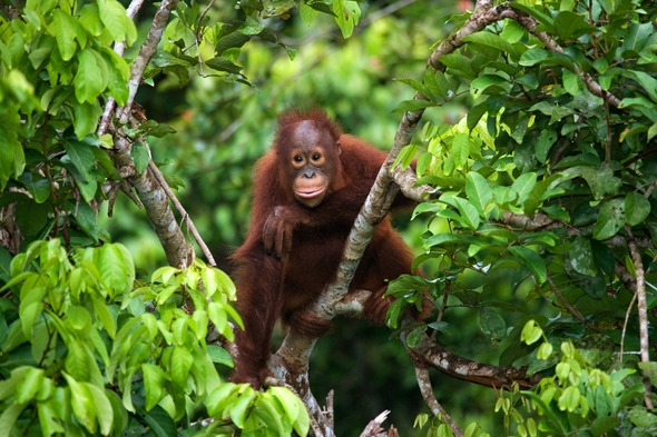Baby orangutan in Kalimantan, Borneo