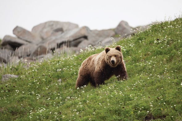 Bear in the Russian Far East