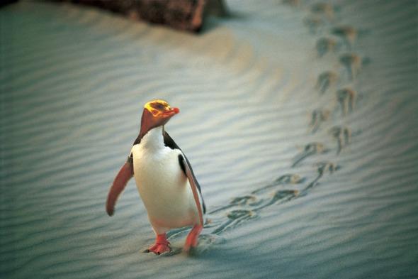 Yellow-eyed penguin on the Otago Peninsula, New Zealand