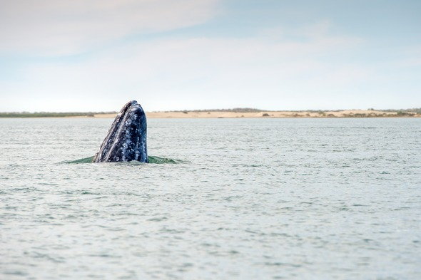 Gray whale in the Sea of Cortez, Mexico