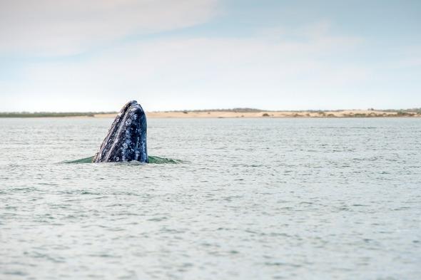 Gray whale in the Sea of Cortez, Mexico