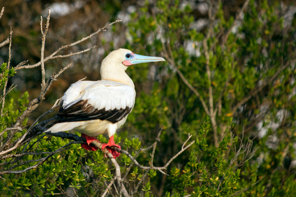 Red-footed booby on Aldabra island, Seychelles