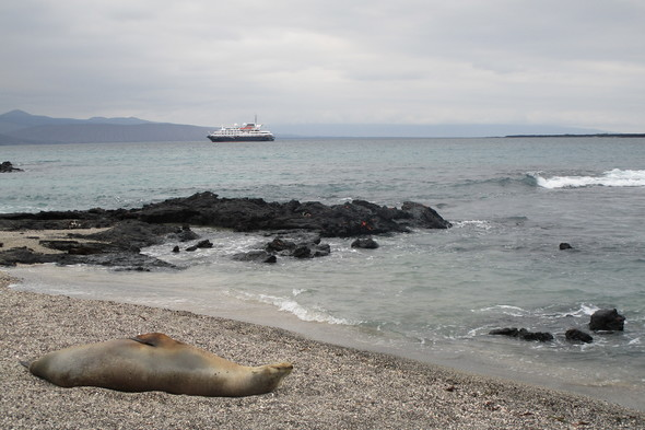 Silver Galapagos and sea lion on Fernandina island
