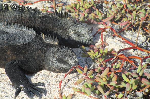 Marine iguanas on Santa Cruz, Galapagos