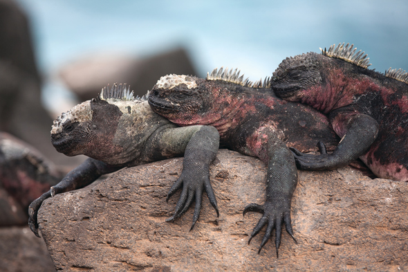 Silversea Expeditions - Marine iguanas in the Galapagos