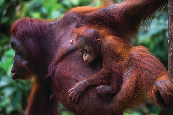 Silversea Expeditions - Orangutans in Borneo