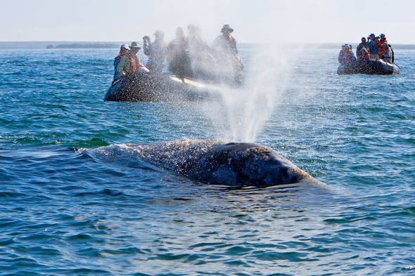 Lindblad Expeditions - Gray whale in the Sea of Cortez, Mexico