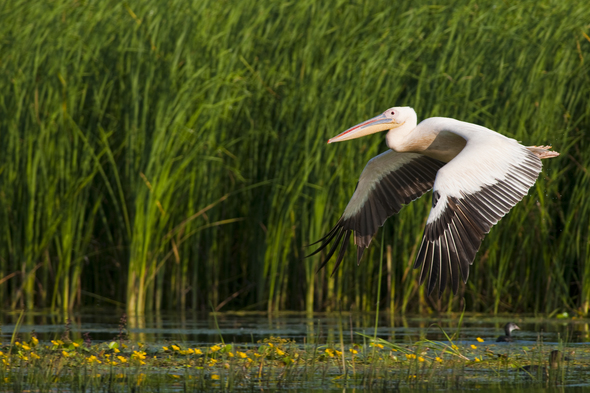 White pelican on the Danube Delta, Romania