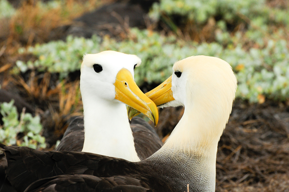 Yellow headed waved albatross in the Galapagos