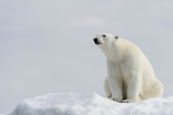 Silversea Expeditions - Polar bear in Svalbard