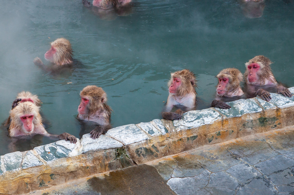 Snow monkeys in an onsen in Hakodate, Japan