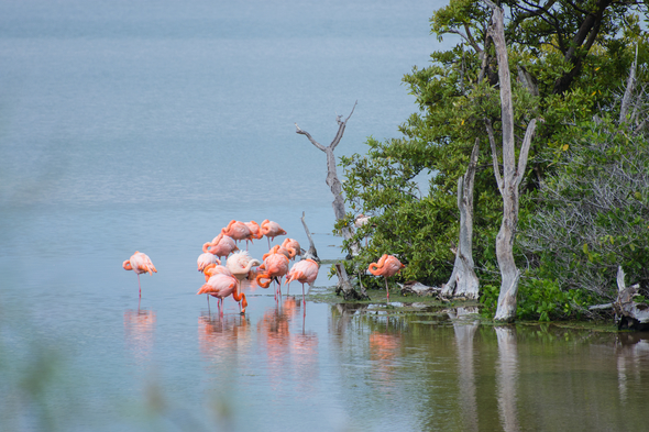 Flamingos in a lagoon on Floreana island, Galapagos
