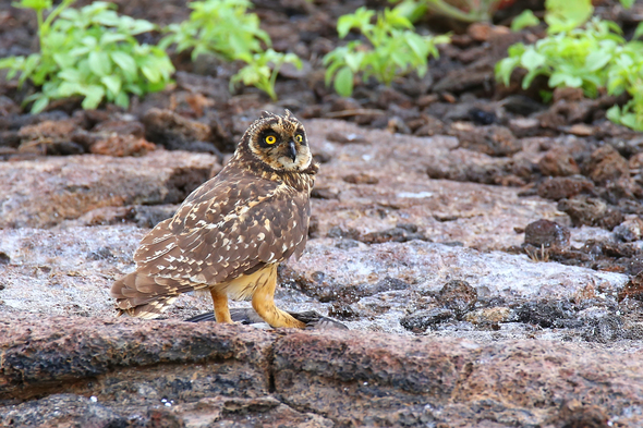 Short-eared owl on Genovesa island, Galapagos