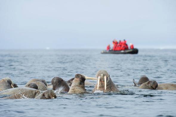 Silversea Expeditions - Walruses in Svalbard, Norwegian Arctic