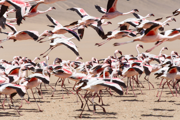 Flamingos in Walvis Bay, Namibia