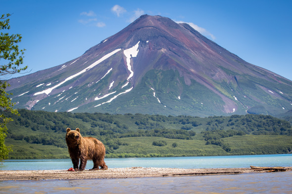 Russian Far East - Brown bear in front of a volcano