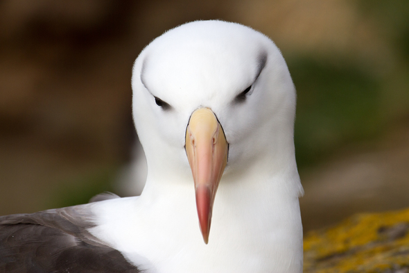 Black browed albatross in Antarctica