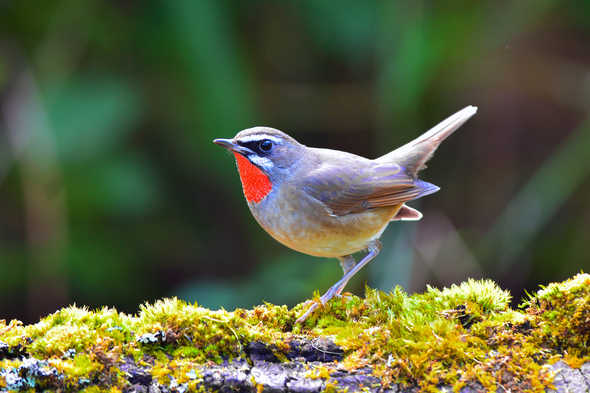 Siberian rubythroat, Russian Far East