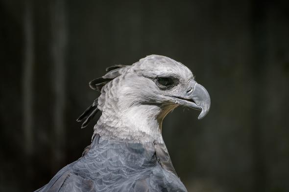 Harpy eagle in Panama