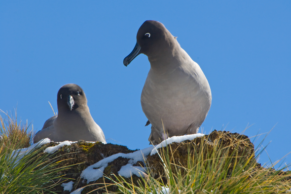 Light-mantled sooty albatross, South Georgia