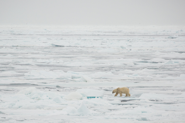 Polar bear on the Arctic ice floes