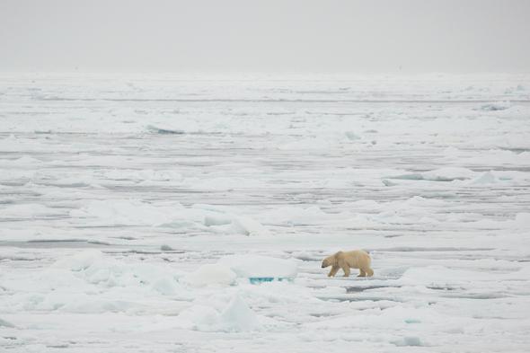 Polar bear on the Arctic ice floes