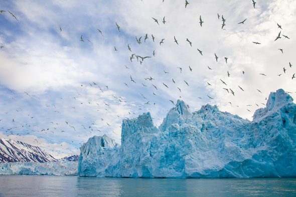 Seabirds in the Arctic