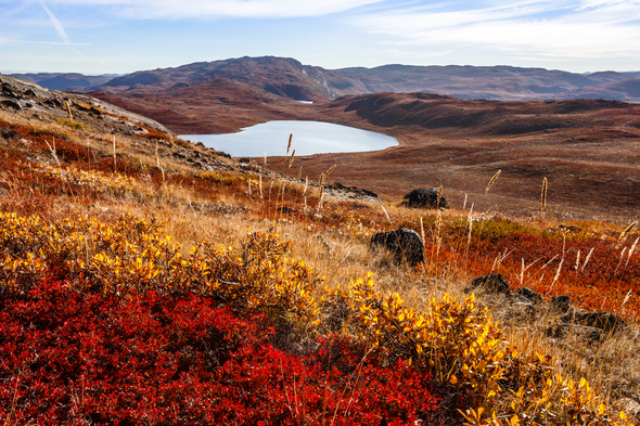 Autumn colours of the tundra near Kangerlussuaq, Greenland